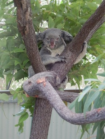 Bungalow Bay Koala Village Tours