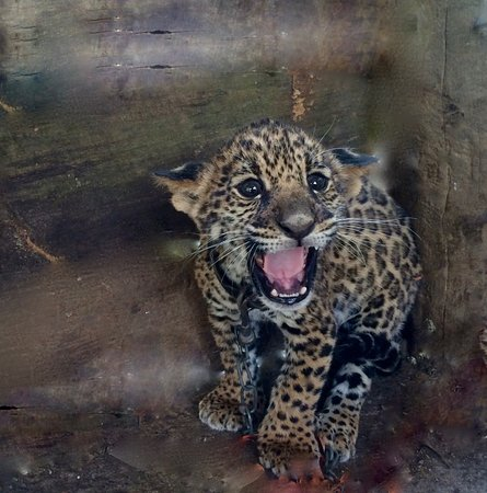 Punta Gorda, Belize: Jaguar Cub ,our guest for a day . We sent him to Belize zoo and they named him Hero