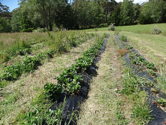 Tasmania, Australia: The strawberry patch - au natural. Some weeds were a bit prickly.
