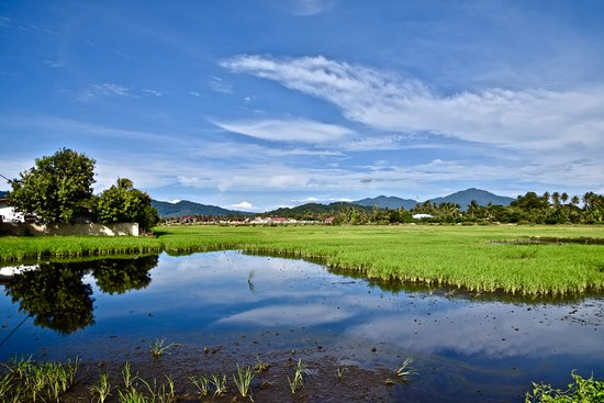 Yoga Now Langkawi: The view of the paddy field opposite the retreat