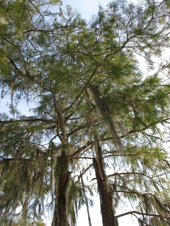 Florala, AL: Beautiful trees