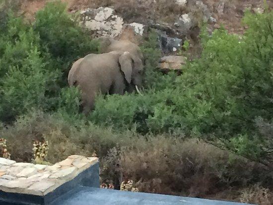White Lion Lodge: Elephants walking by the lodge's infinity pool