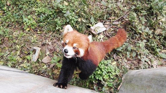 giant panda breeding research base xiongmao jidi red panda begging for food