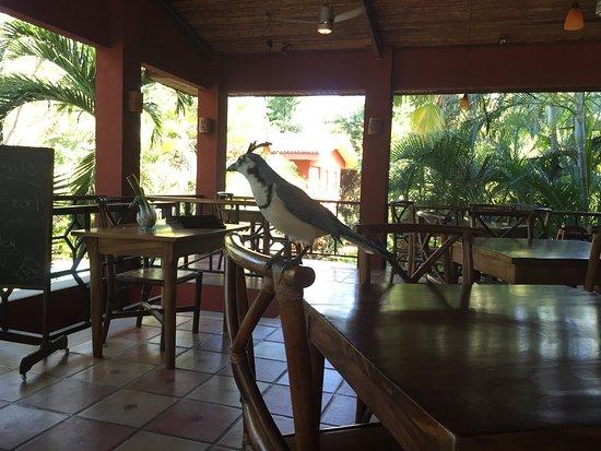 Restaurante Cantarana, Playa Grande: Compañia garantizada, las Urracas comparten contigo el desayuno!