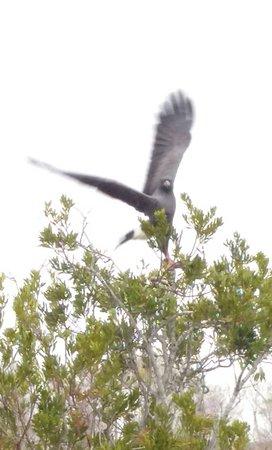 Kissimmee, FL: Big snail eating hawk