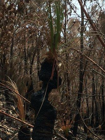 Coolum Beach, Australia: Survival of the fittest grass tree burnt but still alive