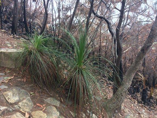 Coolum Beach, Australia: Grass trees un touched