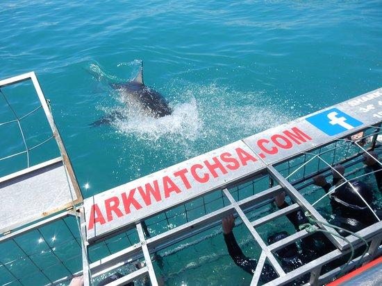 Kleinbaai, Sudáfrica: tubarão bem perto da gaiola