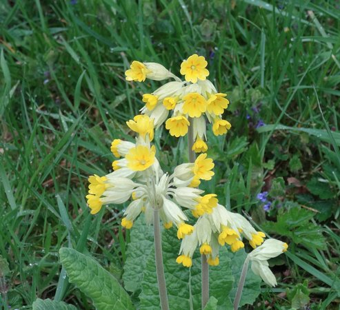 Midhurst, UK: Bepton Down is covered with Cowslips in March