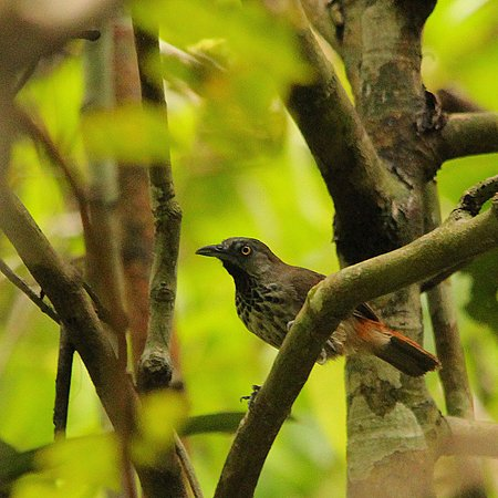Lampung, Indonesia: Chestnut-rumped Babbler at Way Kanan Resort, Way Kambas NP