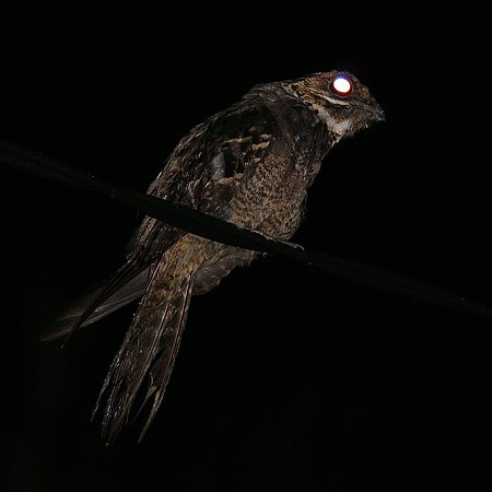 Lampung, Indonesia: Bonaparte's Nightjar one of nocturnal birds at the park.