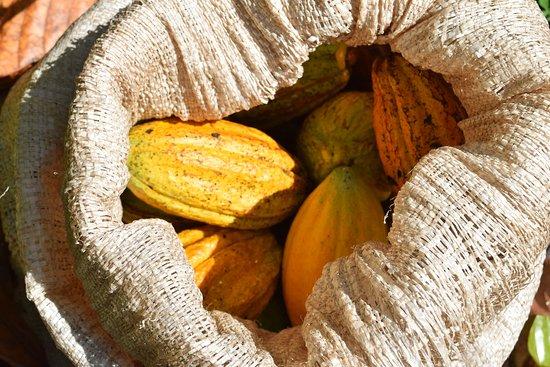 Santiago de Puriscal, Costa Rica: Harvest - La cosecha