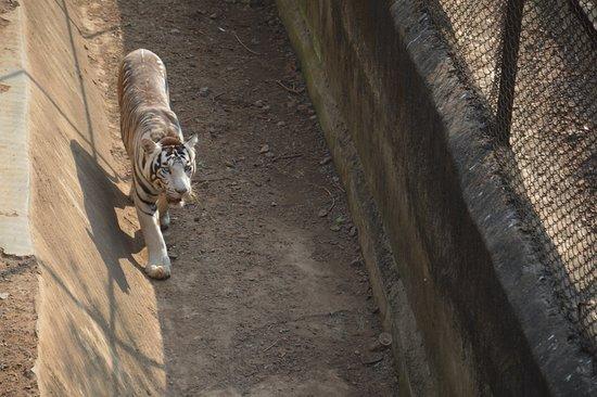 Nandankanan Zoological Park : Black tiger in Nandankanan Zoo