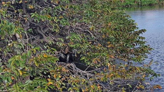 Wakodahatchee Wetlands: well-camouflaged blue heron