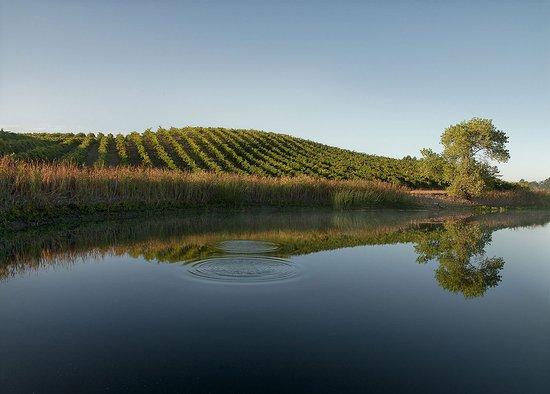 Rutherford, CA: Morning, Truchard Vineyard, Carneros - August 2012
