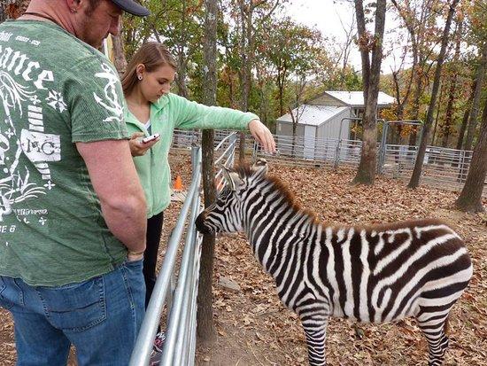 Branson, MO: Petting the baby zebra!