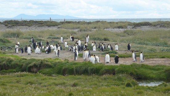 Porvenir, Chili: Los pingüinos !!!!!