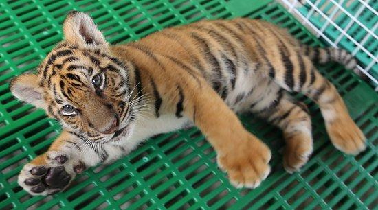 Baby tiger picture of damnoen saduak tiger zoo damnoen - Show me a picture of the tiger ...