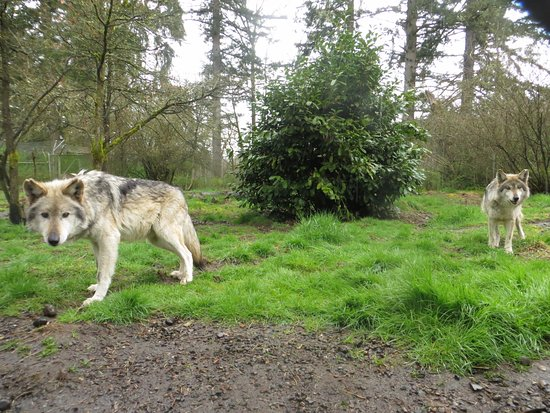 Tenino, WA: Gypsy & Diablo are two Mexican gray wolves at Wolf Haven International.