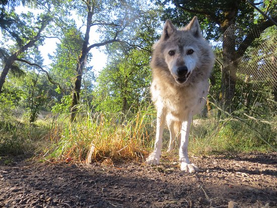 Tenino, วอชิงตัน: Gray wolf Lexi is on the public sanctuary visit route.
