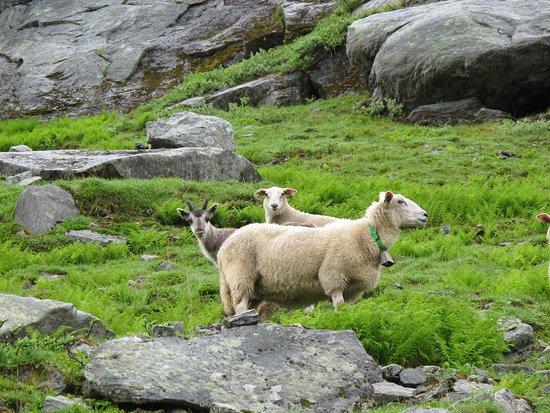 Rindal Municipality, النرويج: Beitedyr iTrollheimen