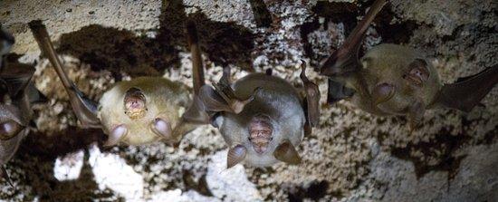 Leaf Nose Bat, Chauve Souris à nez de feuille (Hipposideros commersani)