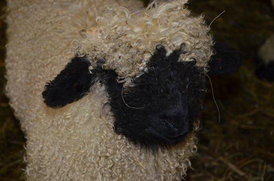 Walliser Schwarznasenschaf Bewohner Unseres Bauernhofs Bild Von