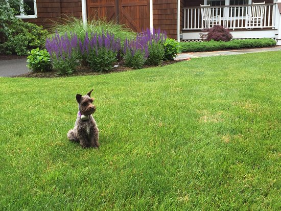 Ridgefield, CT: Our sweet little mini schnauzer Daphne loves our guests