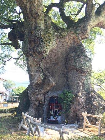 Kawagono Okusu: 川古の大楠