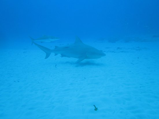 so exciting to see bull sharks in their natural habitat