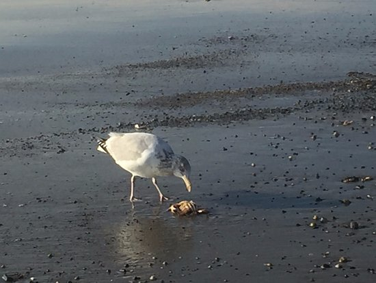 Gull getting lunch on Hampton State Beach