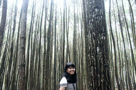 imogiri pine forest hutan pinus