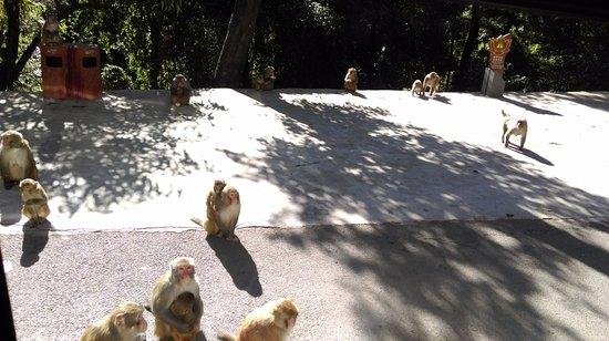 Jizu Mountain : 雞足山上有野生猴群, 可遠觀, 但不建議靠近