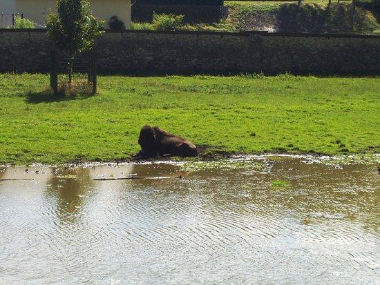 Rosegg, Austria: Bisonte americano