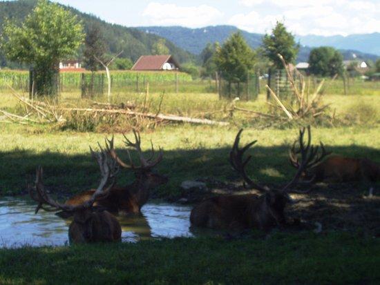 Rosegg, Austria: Cervi