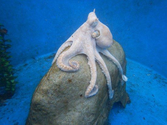 Kanaloa Octopus Farm: octopus