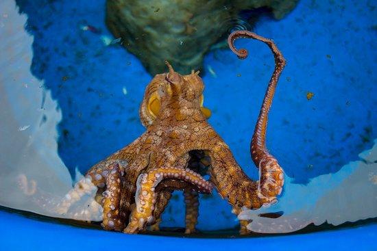 Kanaloa Octopus Farm: Octopus saying hello