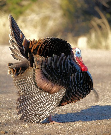 Tom the turkey poses for the photographer.  Palo Duro Canyon.
