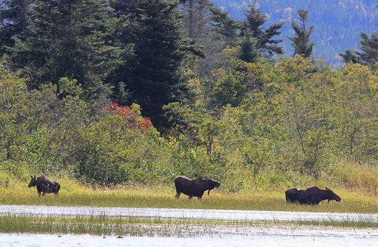 Deer Lake, Canadá: Moose - Credit of NL Tourism