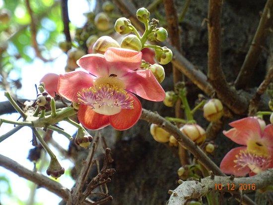 jolie fleur - picture of ssr botanic garden, pamplemousses