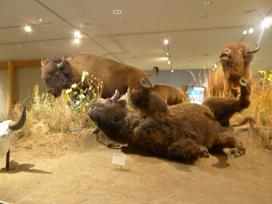 Cody, WY: les bisons