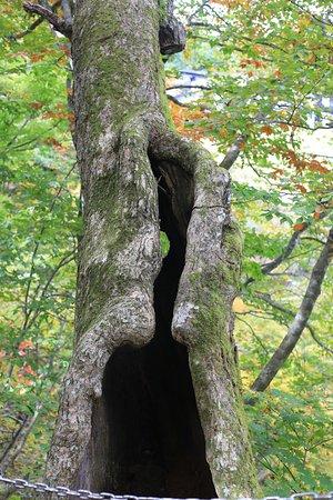 Ginzan Yuhodo: せことい橋の三叉路にある空洞の木