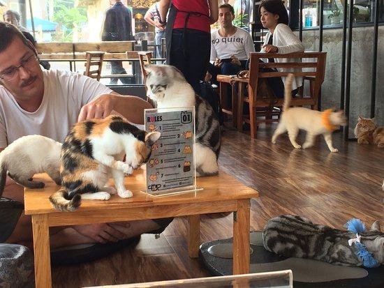 Catn Cup Cat Cafe Chiang Rai