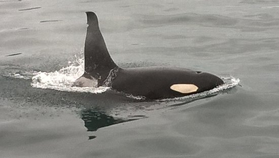 Valdez, AK: Pretty close encounter with orca