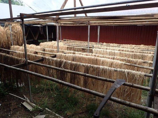 Kosrae, Micronesia: 加工したバナナの幹の乾燥