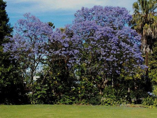 Queens Park: Jacarandah in flower