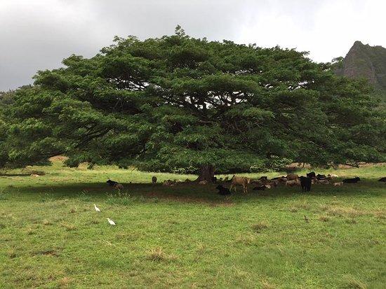 Kaneohe, ฮาวาย: Interesting tree