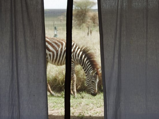 Nieleze Serengeti Camp : Zebra from our tent