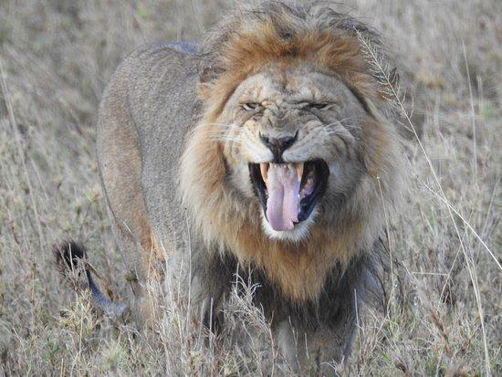 Nieleze Serengeti Camp : Lion having flehmen reaction
