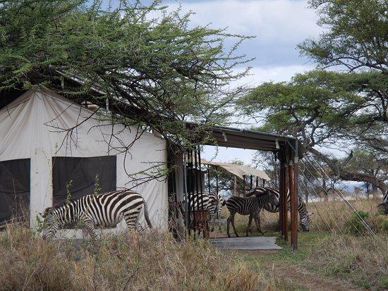 Nieleze Serengeti Camp: Zebras everywhere